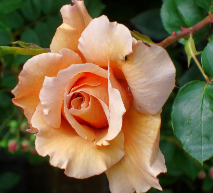 Raveningham Gardens – Special June Rose Weeks