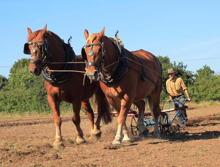 An introduction to Gressenhall Farms' Suffolk Horses- new date added