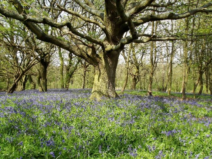 Guided Walk to Bluebell Woodland at Sotshole Broad