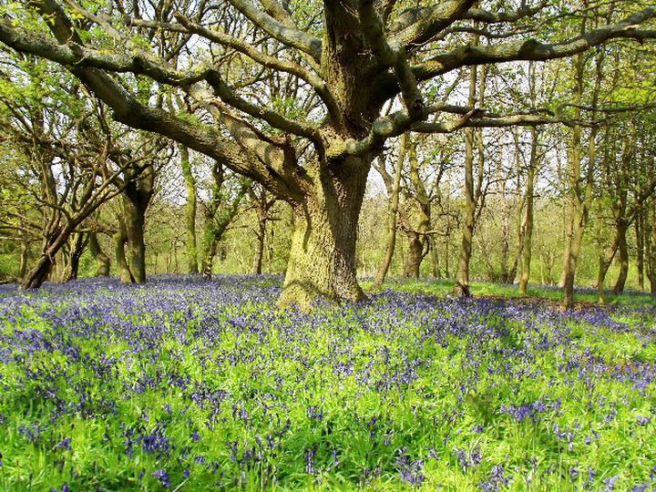 Bluebell Woodland at Sotshole Broad