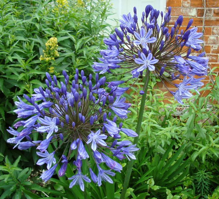 Raveningham Gardens Agapanthus Week