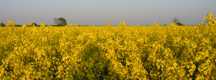 Rape field in bloom